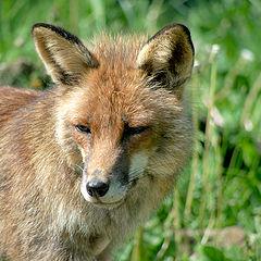 "photo ""Red Fox"""
