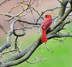 """photo """"Cardinal"""""""