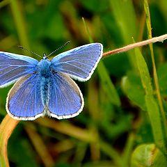 "photo ""Polyommatus thersites"""