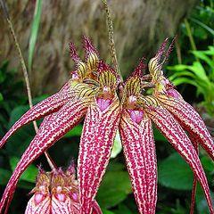 "photo ""Orchid - Cirrhopetilum."""