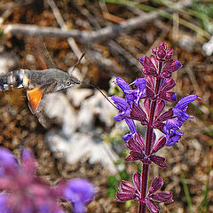 "фото ""Hawk moth"""