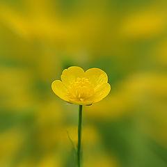"""фото """"Buttercup"""""""