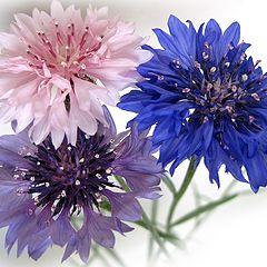 """photo """"Cornflowers"""""""