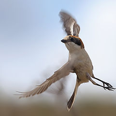 "фото ""Woodchat Shrike"""