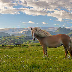 "фото ""Iceland Horse..."""