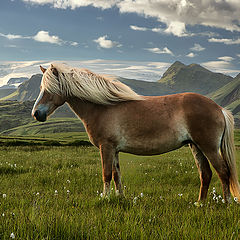 "photo ""Icelandhorse...."""