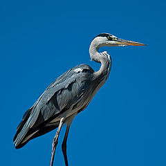 "фото ""Grey Heron"""