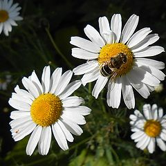 "photo ""A bee-like insect on a camomile"""