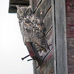 "фото ""Prairie Owl"""