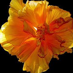 """фото """"""""Yellow Hibiscus..."""""""""""