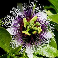 "фото """"Passiflora... again..."""""