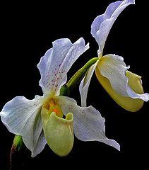 """photo """"Paphiopedilum Orchid"""""""