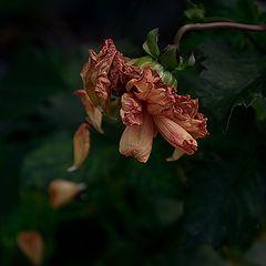 """фото """"Отцвели уж опять хризантемы..."""""""