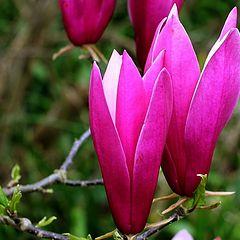 "photo ""Magnolia."""