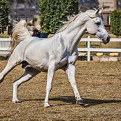 """фото """"Arabian"""""""