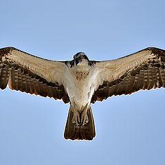 """фото """"Osprey 02"""""""