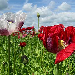 """фото """"Poppies"""""""