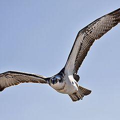 """фото """"Osprey 03"""""""