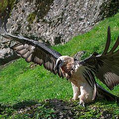"фото ""Bearded Vulture (Gypaetus barbatus)"""