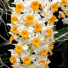 "photo ""Dendrobium thrysiflorum"""