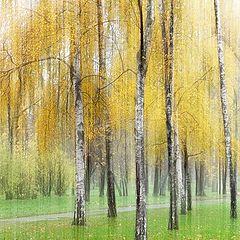 """photo """"autumn birch"""""""