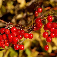"фото ""Red berries"""