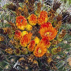 "photo ""Barrel cactus in bloom"""