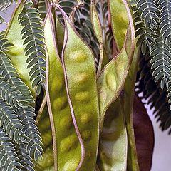 "photo ""Mimosa Tree Seed Pods"""
