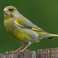 """photo """"Just greenfinch"""""""