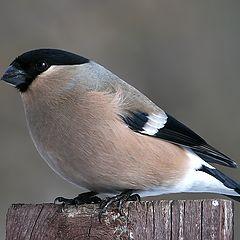 "photo ""Bullfinch (female) - 2"""