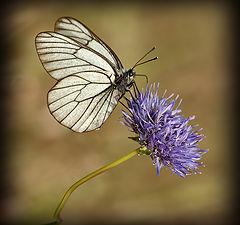 "фото ""Бабочка на голубом"""