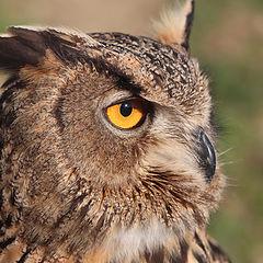 "фото ""Owl"""