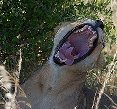 """photo """"Lion yawning"""""""