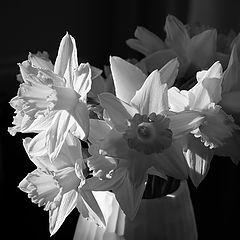 "фото ""B&W daffodils"""