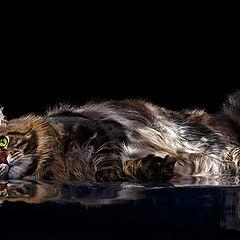 """фото """"Коте лёжа позирует в студии"""""""
