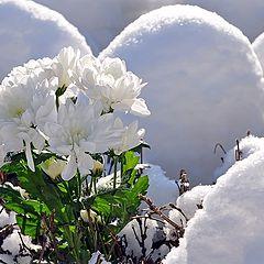 """фото """"Белые хризантемы ранней весны"""""""