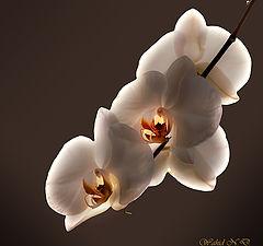 """фото """"Orchid magic"""""""