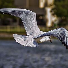 """фото """"Flying gull"""""""