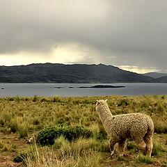 "фото ""ламы в Андах"""