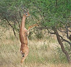 "photo ""Antelope gerenuks"""