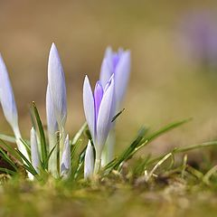 "photo ""first crocuses"""