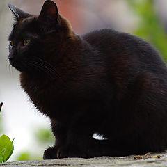 """фото """"Черна котка"""""""