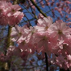 "фото ""Blossom"""