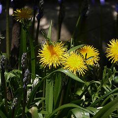 """фото """"Dandelions"""""""