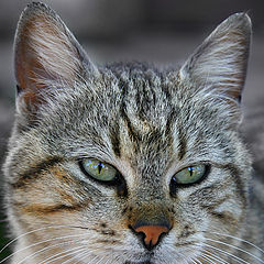 """фото """"Istanbul Cat"""""""