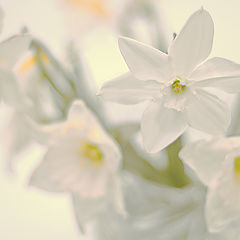 "photo ""Daffodils"""