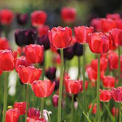 """фото """"Тюльпаны"""""""
