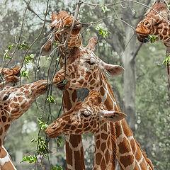 """photo """"Giraffa"""""""