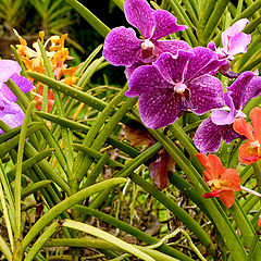 """фото """"KL Orchids"""""""