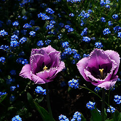 "фото ""Tulips"""